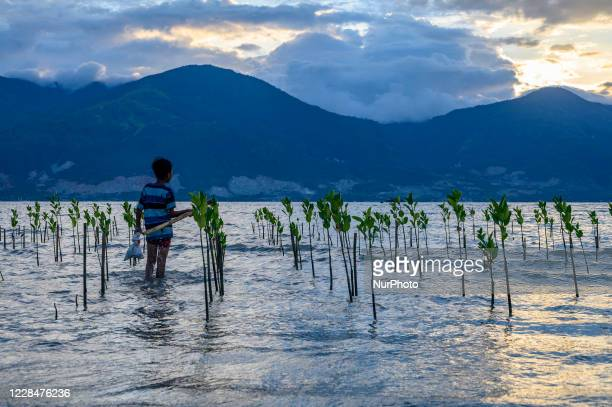 Child is among the mangrove trees that started growing on the beach of Mamboro, Palu City, Central Sulawesi Province, Indonesia on September 12,...