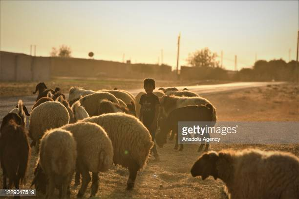 A child is seen with small cattles on the first year of Operation Peace Spring as life turned to normal in Tal Abyad Syria on October 13 2020 A year...