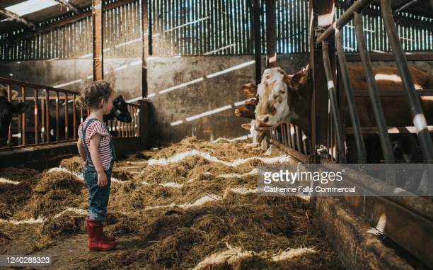 child looking at a cow - farmer stock pictures, royalty-free photos & images