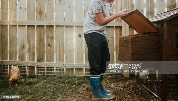 a child looking in to a roosting box in a chicken coop - open stock pictures, royalty-free photos & images