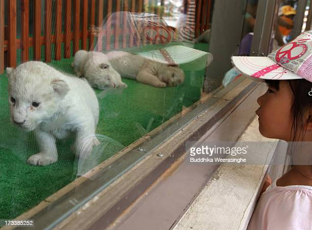 A child looks at a young lion cub during their first public viewing at Himeji Central Park on July 13 2013 in Himeji Japan The seven white lioness...