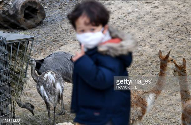 Child looks at Darwin's rheas and vicunas at the Paris Zoological Park in the Vincennes woods in Paris, on June 8 on the zoo's re-opening day, as...