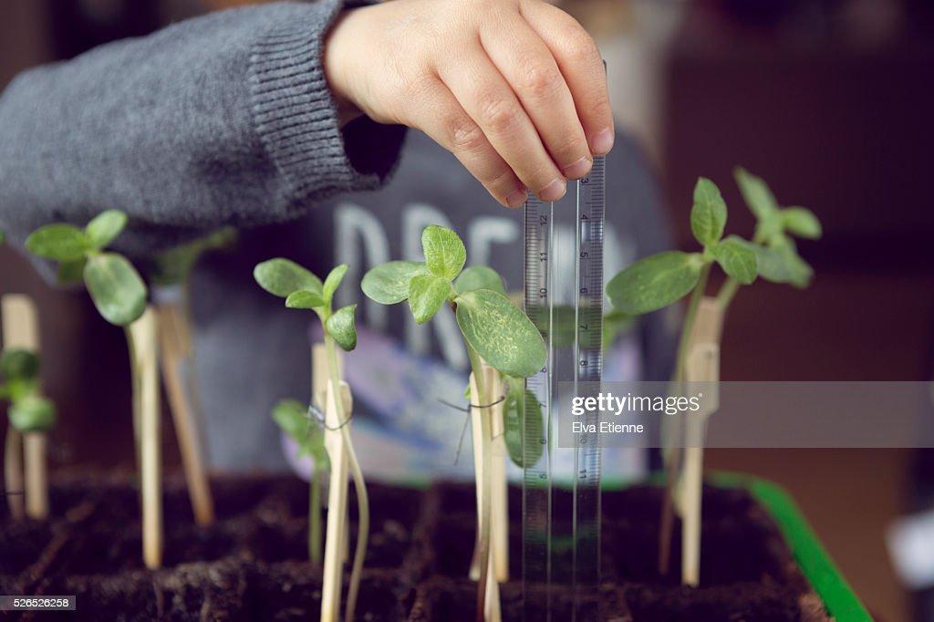 Child (3-4) measuring sunflower plant growth : Stock Photo