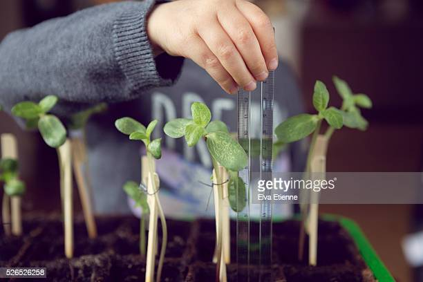 Child (3-4) measuring sunflower plant growth