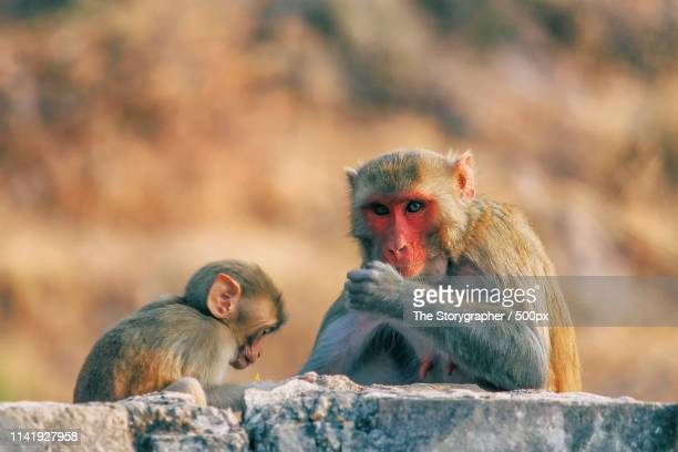 a child monkey with his mother - the storygrapher - fotografias e filmes do acervo