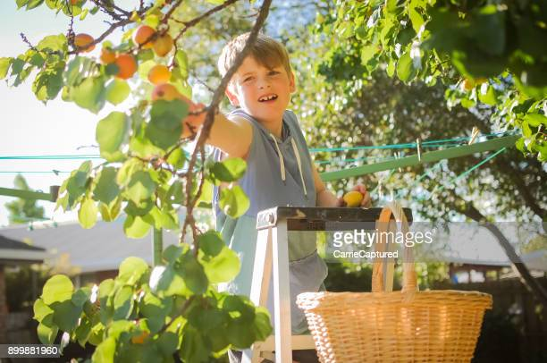 child picking apricots on ladder - apricot tree stock pictures, royalty-free photos & images