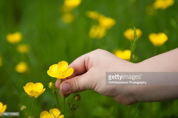 Child picking buttercups