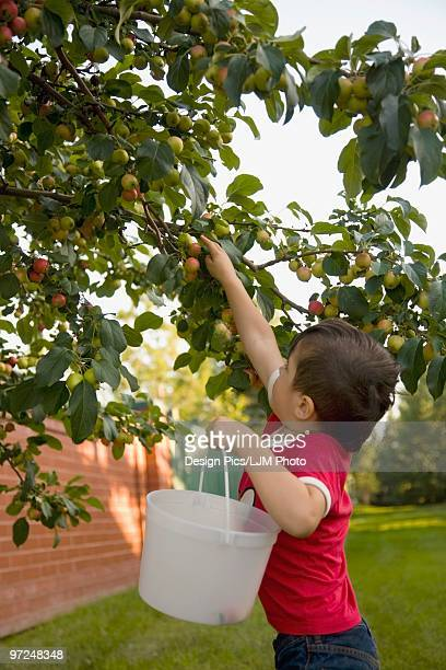 child picking fruit from a tree - crab apple tree stock pictures, royalty-free photos & images