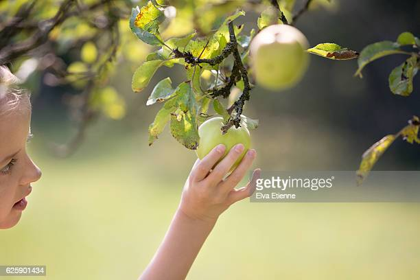 Child picking green apple from a tree