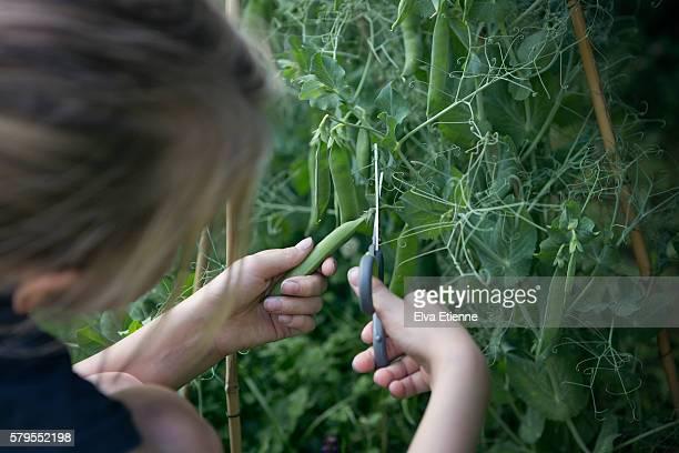 Child picking homegrown garden peas
