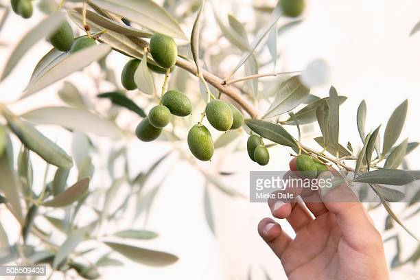 child picking olives from an olive tree - spanish olive fotografías e imágenes de stock