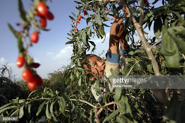 A child picks medlars at a medlar farm on July 24 2005 in Tongxin County of Ningxia Hui Autonomous Region north China Ningxia is known as the...
