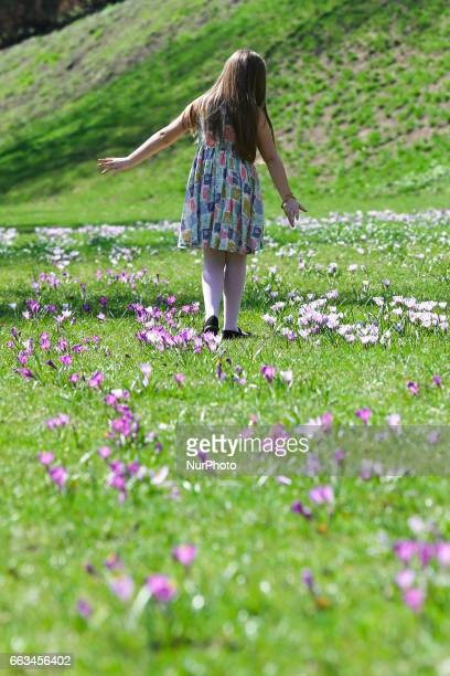 Child plays in a field of crocus flowers blooming in the springtime by the Wawel Castel in Krakow Poland on 1 April 2017