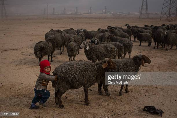A child pushes a sheep with wool blackened by smoke and oil from burning oil wells set on fire by fleeing ISIS members on November 10 2016 in Al...
