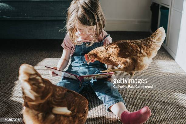 a child reads a book to two brown hens - animal body part stock pictures, royalty-free photos & images