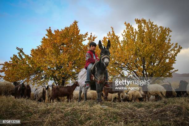 A child shepherd rides on a donkey as he herds sheep and goats in his spare times from school during autumn in Van Turkey on November 06 2017