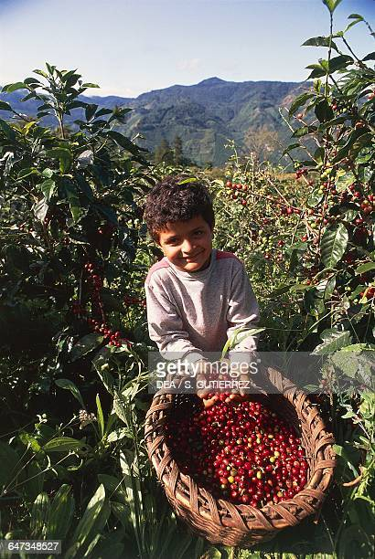 Child showing handfuls of coffee beans Orosi valley Costa Rica