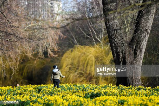 A child walks through daffodils on a sunny day in St James' Park on February 12 2020 in London England High winds rain and snow from Storm Ciara has...