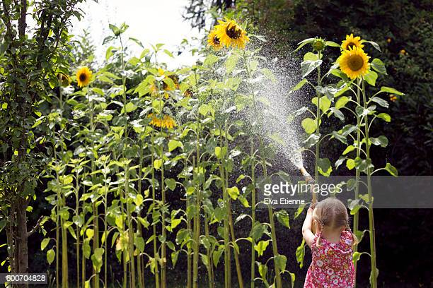 Child (3-4) watering tall sunflowers with garden hose