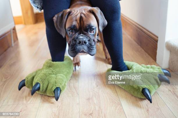child wearing green dinosaur feet slippers, with pet dog peering through legs - boxer dog stock pictures, royalty-free photos & images