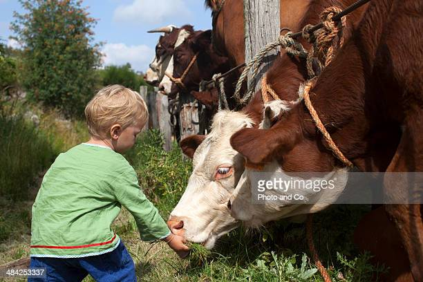 Child with cows