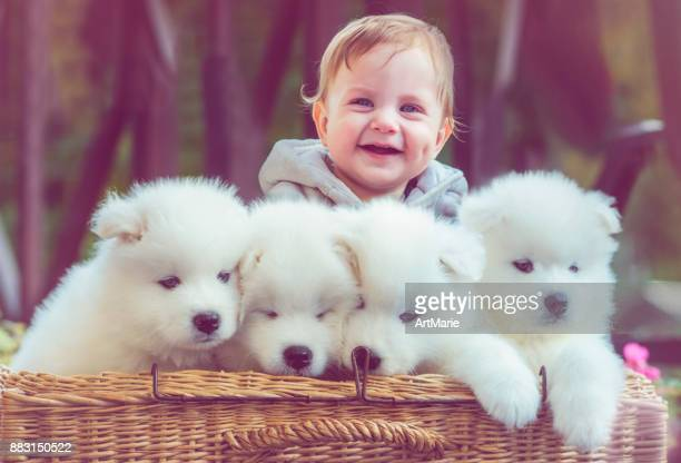 child with samoyed puppies - large group of animals stock pictures, royalty-free photos & images