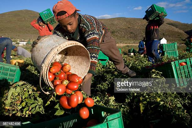 A child works with a team of seasonal agricultural labourers picking tomatoes on a farm in the Boland region of the Cape Province These tomatoes were...