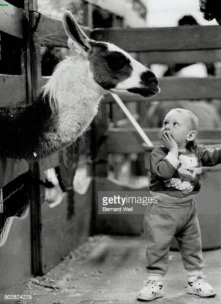 Childish wonder Aaron Precious 16 months doesn't know quite what to make of the llama he met yesterday at the Royal fair's Knob Hill petting zoo