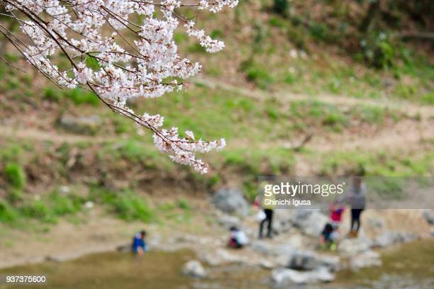 children and a cherry tree (edohigan) - shinichi igusa ストックフォトと画像