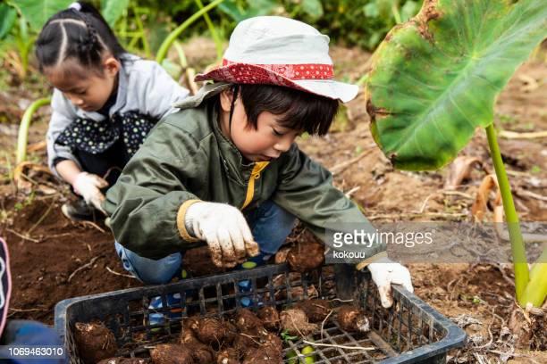 子供たちが野菜を掘っています。 - 作物 ストックフォトと画像