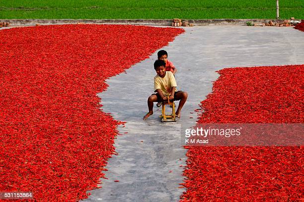 Children are playing in a red chilli pepper drying factory under the sun near Jamuna River in Bogra Bangladesh on March 03 2016 Many women come from...