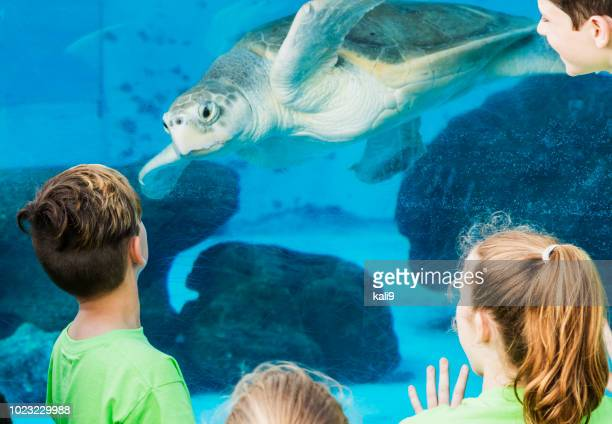 children at aquarium looking at sea turtle - zoo stock pictures, royalty-free photos & images