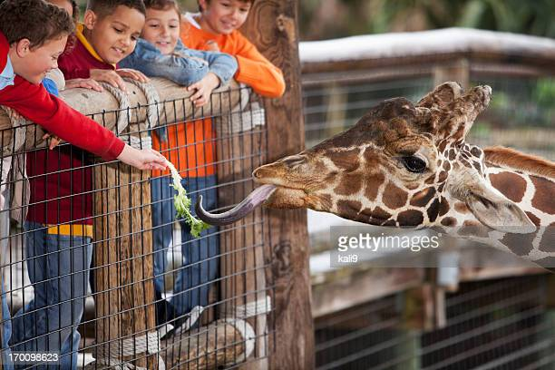 children at zoo feeding giraffe - white giraffe stockfoto's en -beelden