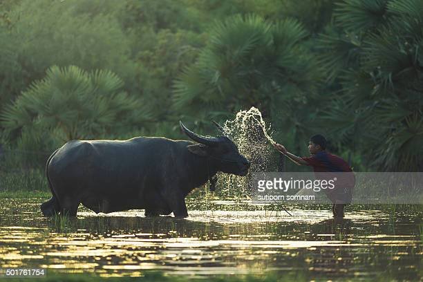 Children bathe the buffalo