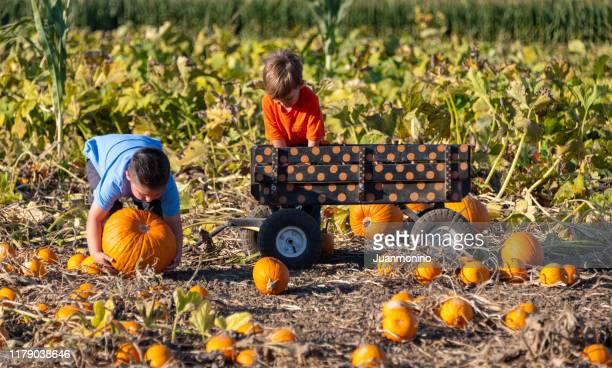 children boys picking up pumpkins - pumpkin harvest stock pictures, royalty-free photos & images