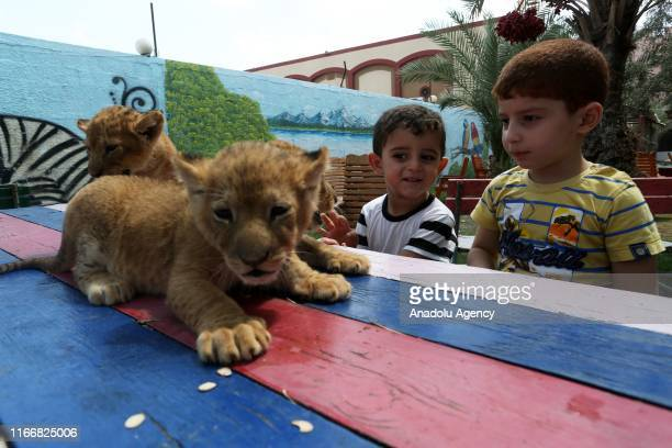 Children caress the three newborn cubs at a zoo in Rafah Gaza on September 08 2019 A mother lion at a zoo in Gaza Strip gave birth to three healthy...