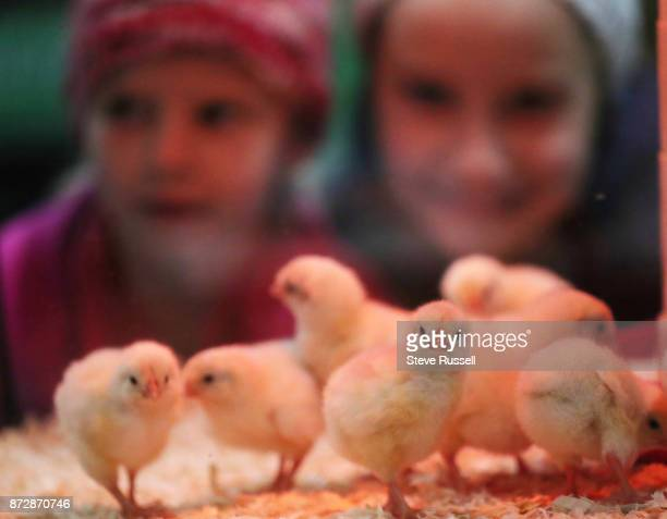 TORONTO ON NOVEMBER 10 Children check out day old chicks at the Royal Agricultural Winter Fair at the CNE Grounds in Toronto November 10 2017