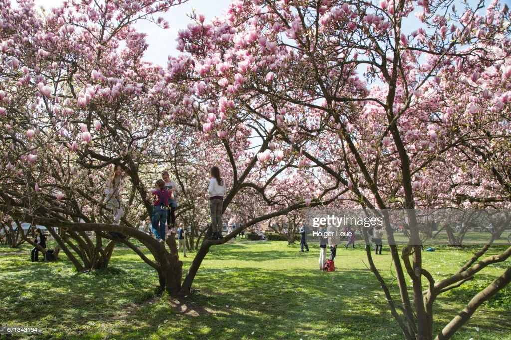 Children Climb Magnolia Tree In Full Bloom In Park Schöntal Stock