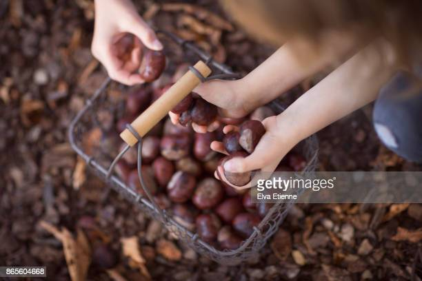 children collecting autumn conkers - picture of a buckeye tree stock photos and pictures