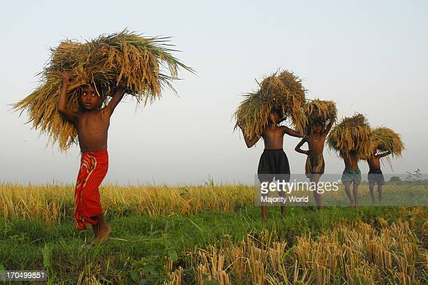Children collecting crops and helping their parents in the field Mirjapur Dhaka Bangladesh Dhaka Bangladesh May 30 2007