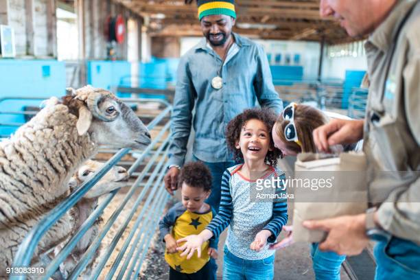 children feeding a sheep on a farm - zoo keeper stock pictures, royalty-free photos & images