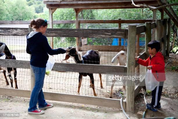 children feeding goats at rural petting zoo - terryfic3d stockfoto's en -beelden