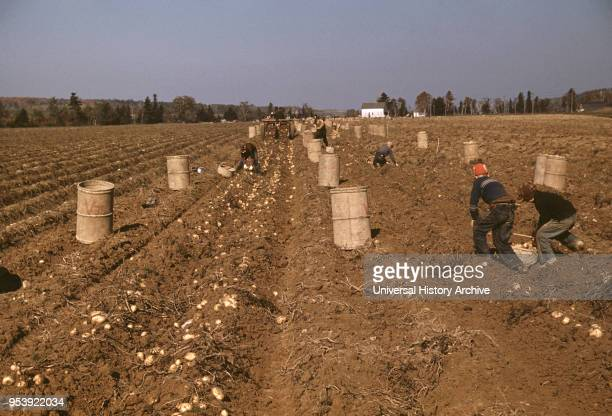 Children Gathering Potatoes on Large Farm Schools do not Open until the Potatoes are Harvested near Caribou Aroostook County Maine USA Jack Delano...