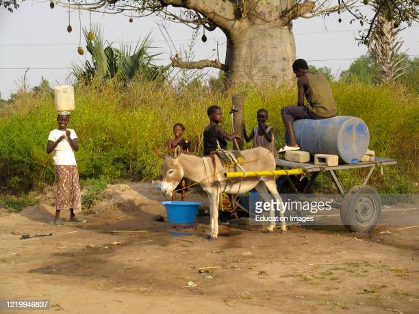 Children help fill water basins and barrel on donkey cart at village well near Kartong The Gambia.