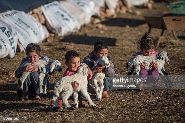 Children hold new born lambs in Sanliurfa Turkey on December 8 2016 Nomadic people began their journey to warmer places to spend winter months In...