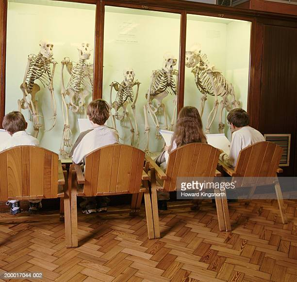 children (6-11) in a row, studying cabinet of primate skeletons - animal bones stock photos and pictures