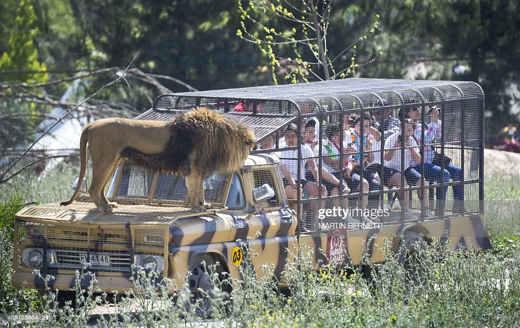Children inside a cage watch at close quarters a lion at the Safari Lion Zoo in Rancagua, Chile, on October 30, 2014. the Safari Park Zoo is the only park in Latin America where tourists can see from a short distance six lions in a two-hectares large open area.