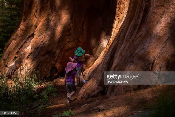 Children investigate an ancient sequoia tree at Mariposa Grove of giant sequoias on June 21 2018 in Yosemite National Park California which recently...