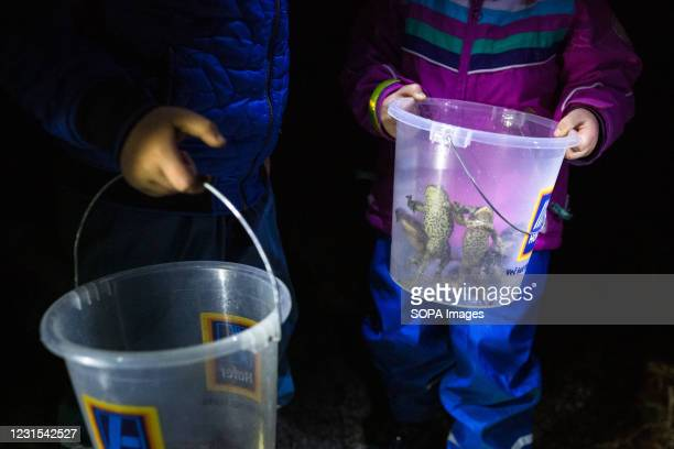 Children look at their buckets containing toads that are ready to be carried across the road during an action for protection of migrating amphibians....