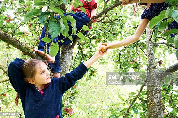children picking fruit in tree - appelboom stockfoto's en -beelden